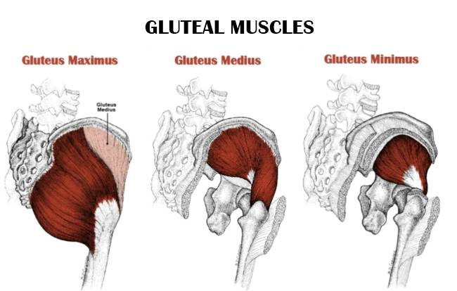 Gluteal Muscle Structure